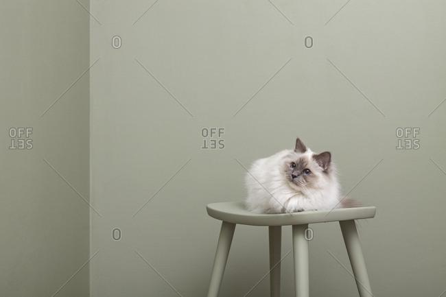 Sacred barman cat sitting on green stool