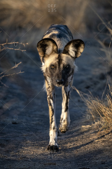 African wild dog walking down a game path