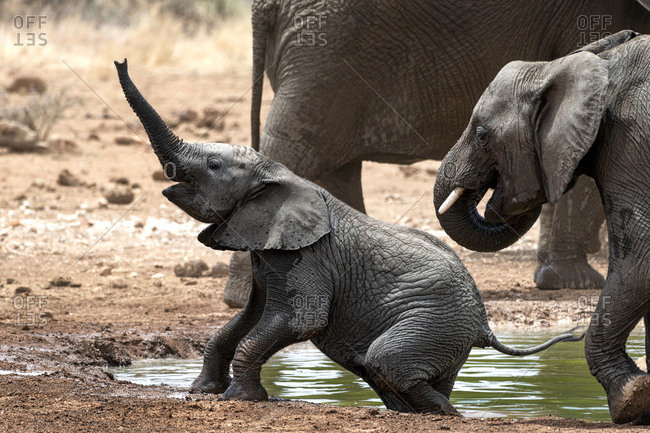 Elephant calf climbing out of a river with its trunk extended