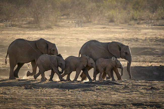 Two adult elephants with three juveniles walking across a dusty plain