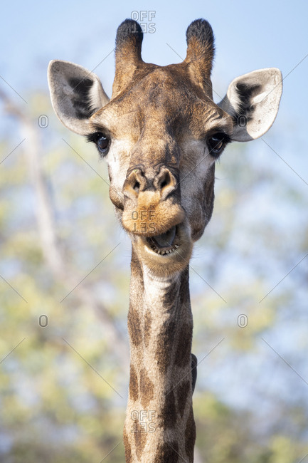 A giraffe with mouth open