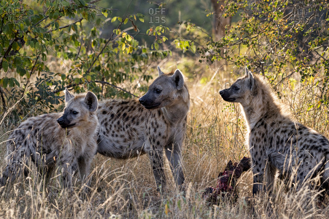 Three hyena standing around a waterbuck carcass