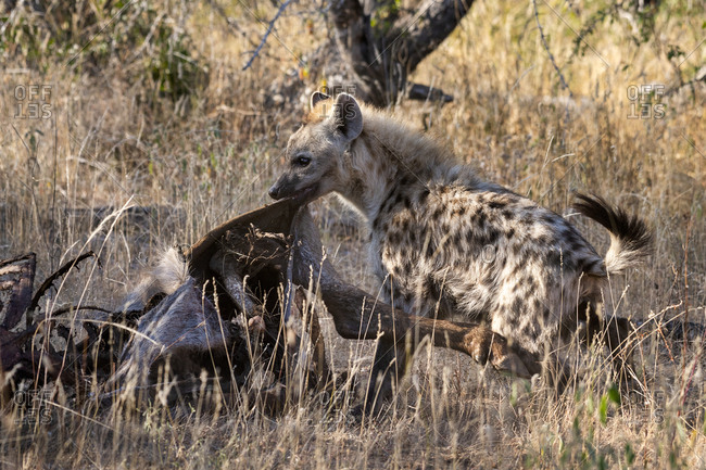 Hyena tearing the hide of a waterbuck carcass