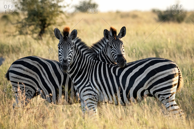 Two zebras mirroring each other