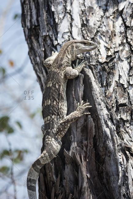 A Nile monitor lizard climbing a tree
