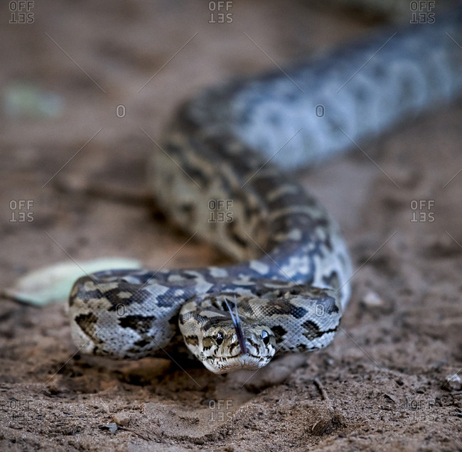 African rock python ready to strike