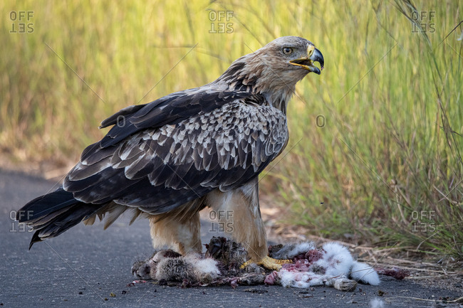 Wahlberg's eagle eating a dead hare