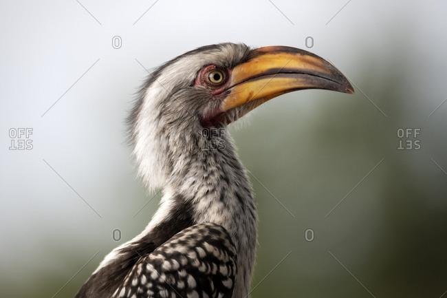 Yellow-billed hornbill chick