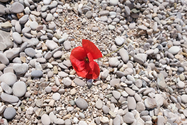 Red poppy lying on a rocky path