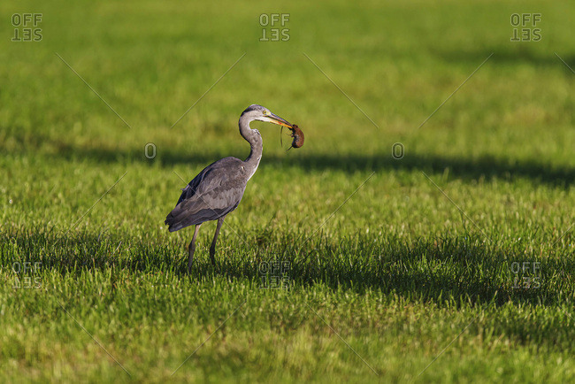 Grey heron with mouse in beak