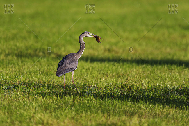 Grey heron with rodent in beak