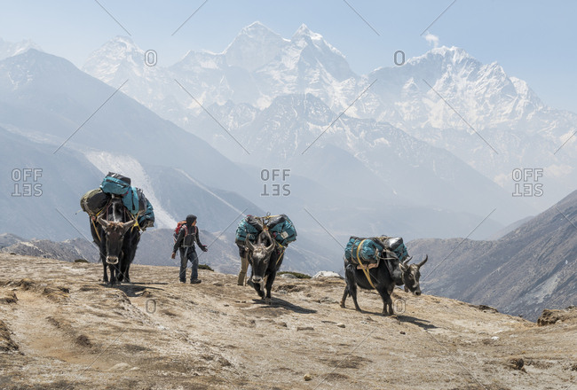 Nepal- Solo Khumbu- Everest- Dingboche- Sherpa guiding pack animals through the mountains