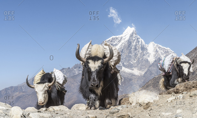 Nepal- Solo Khumbu- Everest- Chukkung- Yaks carrying provisions