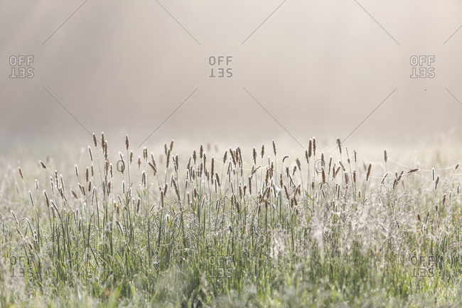Grasses on a meadow at backlight