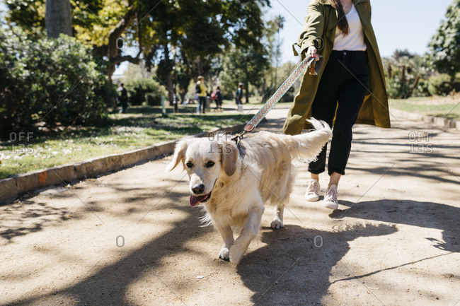 Portrait of Labrador Retriever going walkies in city park with mistress