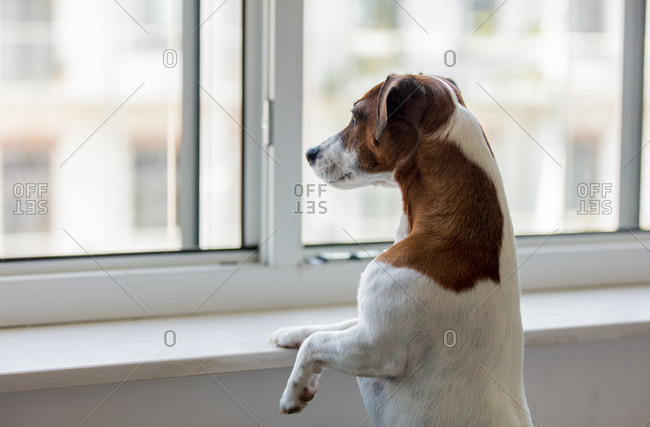 jack russell terrier dog look out the window