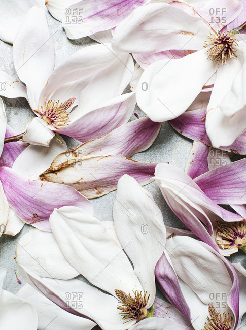 Close up of drying magnolia flowers