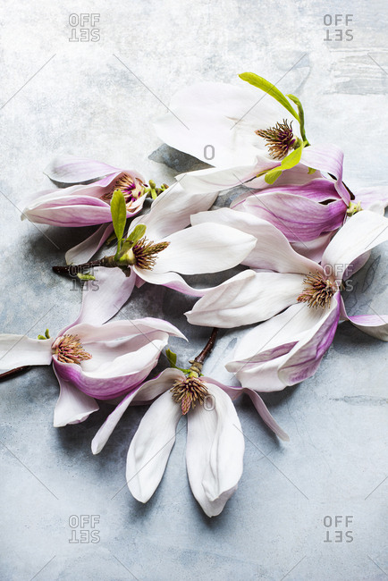 Magnolia flowers on a table