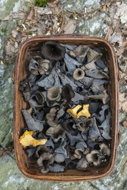 A basket of foraged black trumpet and yellow chanterelles in the woods