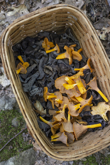 A basket of foraged black trumpet and yellow foot chanterelles