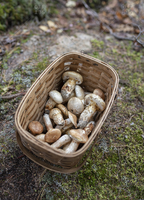A basket of wild matsutake mushrooms on a mossy rock