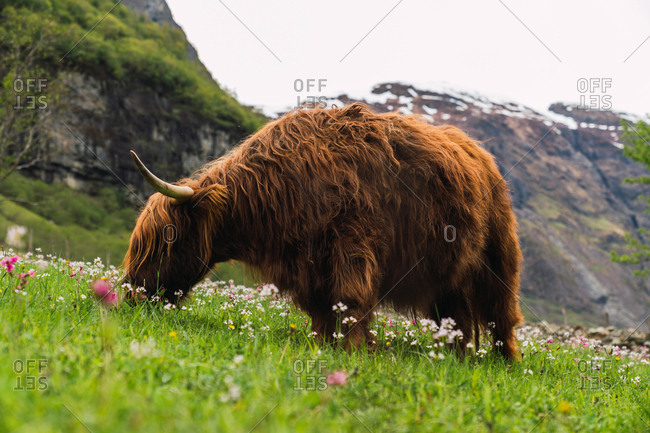 Side view of big brown yak with strong horns walking and eating juicy grass on blooming fields on background of rocky hills in cloudy day in Norway