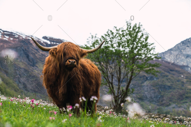 Front view of big brown yak with strong horns walking and eating juicy grass on blooming fields on background of rocky hills in cloudy day in Norway