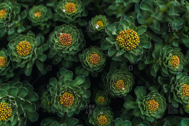 Top view of green lush plants with many sheets flowers and yellow middle