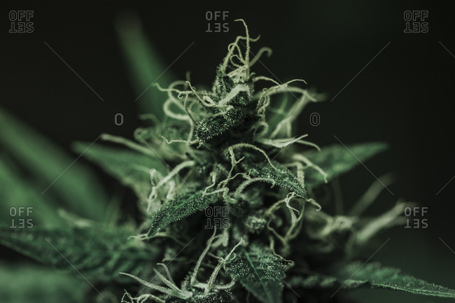 Macro view of a cannabis plant