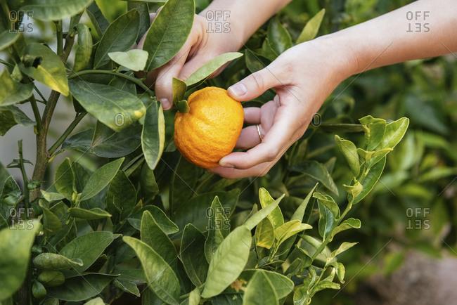 Closeup of woman hands holding orange in backyard