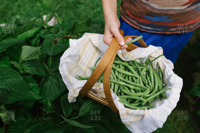 Child holding basket of fresh picked pea pods