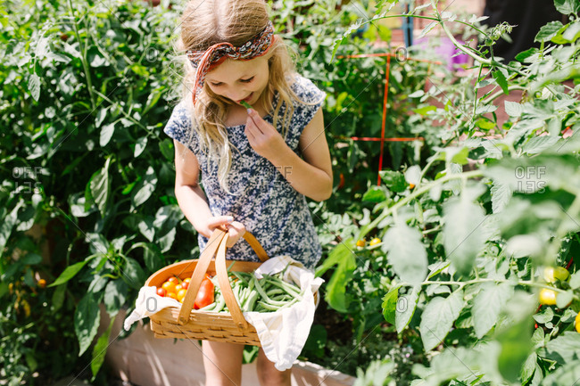 Little girl holding a basket full of fresh vegetables in a garden and tasting one