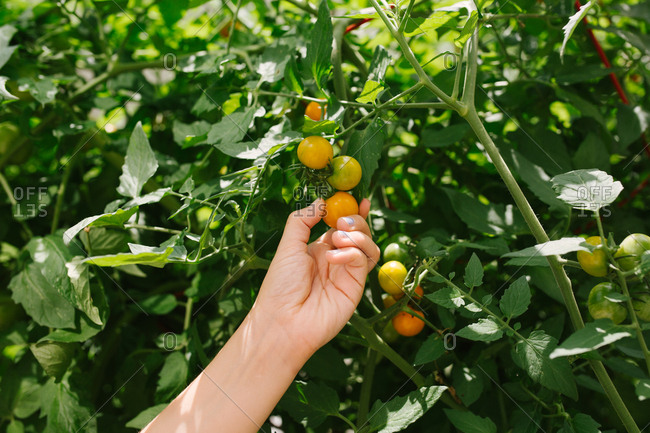 Hand picking cherry tomatoes in a garden