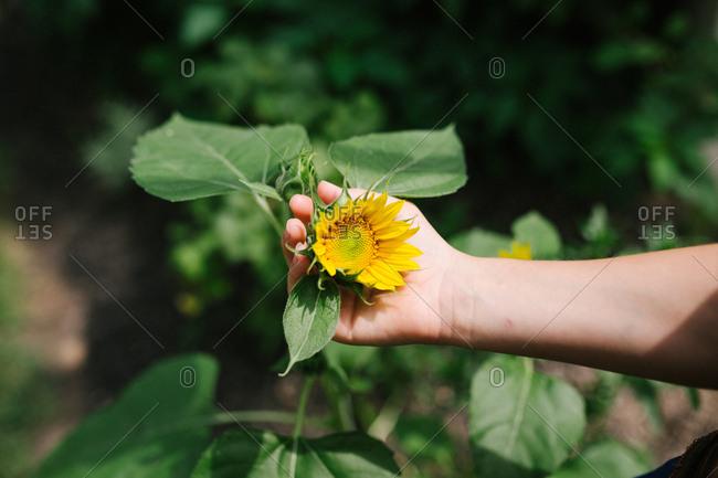 Hand holding a sunflower in a garden