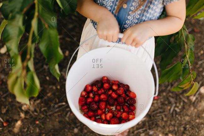 Little girl's hand holding a bucket of fresh picked cherries