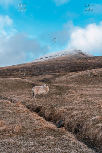 Woolly sheep grazing on dry grass of hilly terrain on cloudy day on Faroe Islands