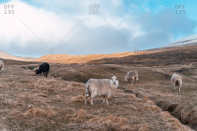 Herd of woolly sheep grazing on dry grass of hilly terrain on cloudy day on Faroe Islands