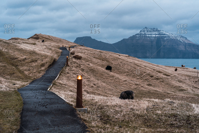 Herd of woolly sheep grazing on dry grass of hilly terrain near road on cloudy day on Faroe Islands