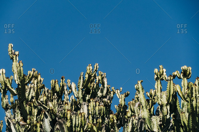 Close-up cactus with tall green stems growing in the nature against a clear blue sky on a sunny day