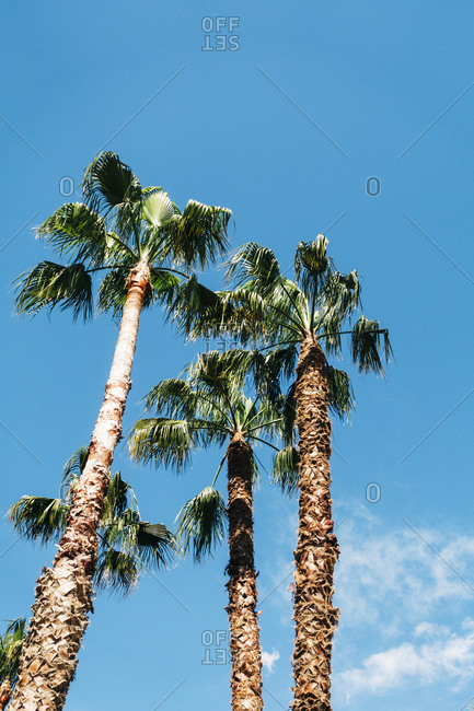 From below view of high palms with lush leaves on background of blue sky on a sunny day