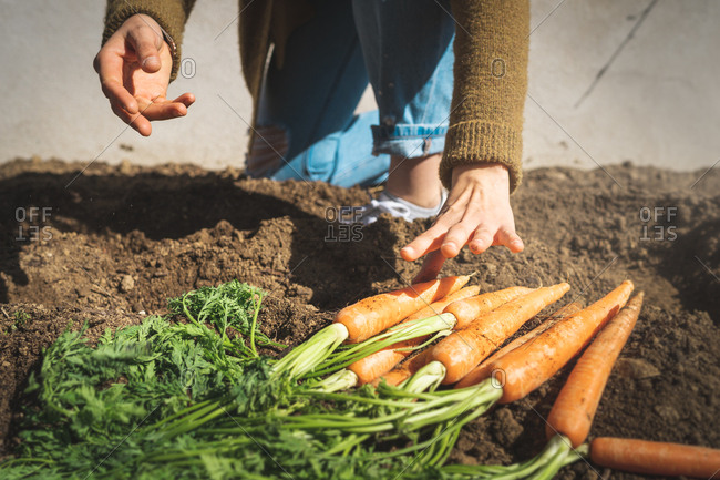 Anonymous female in casual outfit pulling ripe carrot from soil on sunny day on farm