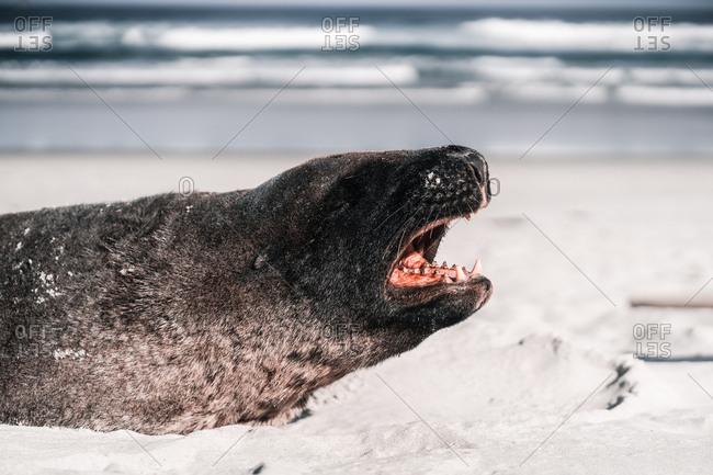 Brown adorable seal lying and enjoying sun on beach in daylight