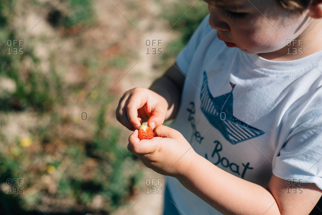 Small boy holding a fresh collected strawberry outdoors in a field