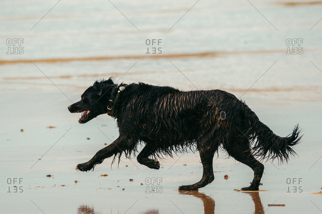 Black Croatian Shepherd with wet fur running on wet sand towards waving sea