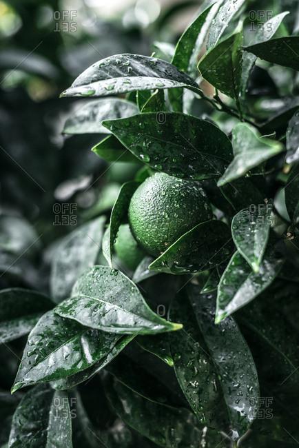 Green unripe orange on branch on plantation in water drops