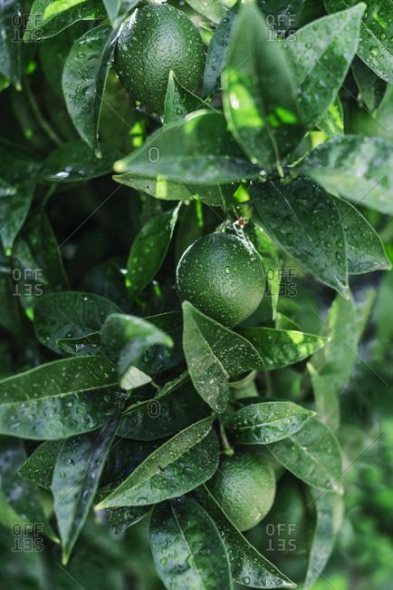 Unripe citrus fruit on branch