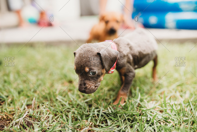 Young puppies walking in grass