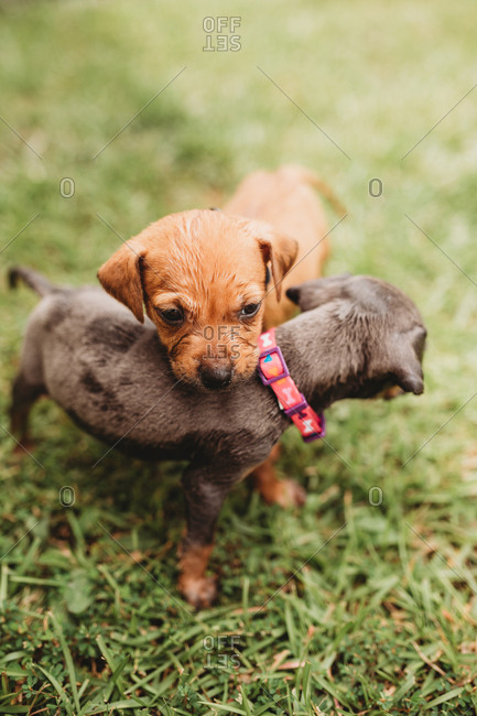 Two young puppies together in grass