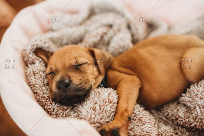 Cute little puppy asleep in dog bed