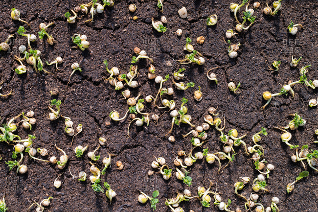 Sprouts on ground